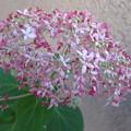 写真: ちょい開花 アナベル_03
