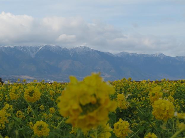 冬山、菜の花1