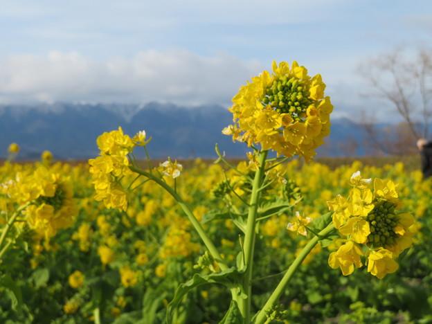 冬山、菜の花2