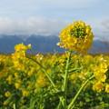Photos: 冬山、菜の花2