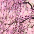 枝垂れ梅♪