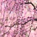 写真: 枝垂れ梅♪