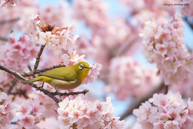 桜花繚乱 ♪