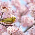 写真: 桜花繚乱 ♪
