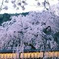 写真: 大石桜 ♪