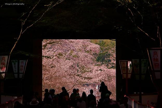 Photos: 醍醐の花見♪