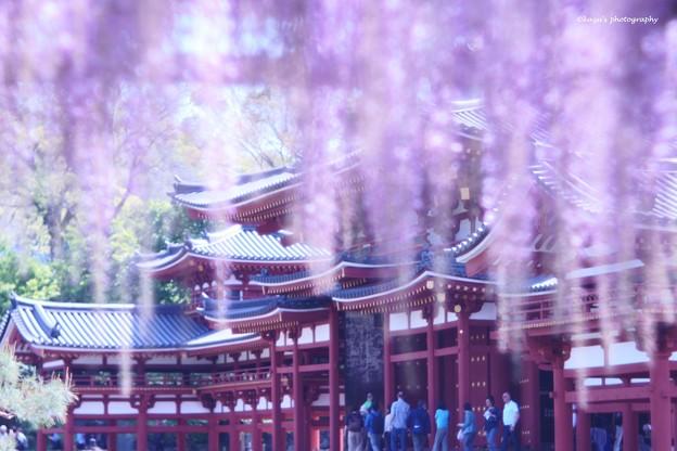写真: 鳳凰堂に藤の雨♪