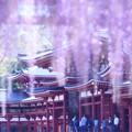 Photos: 鳳凰堂に藤の雨♪