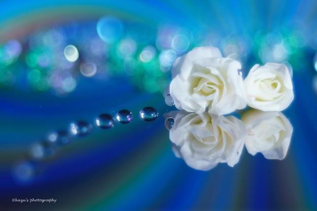 写真: Like a white rose