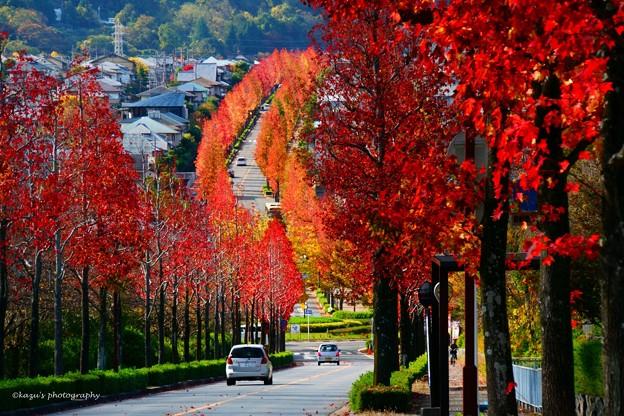 Photos: モミジバフウの並木道♪