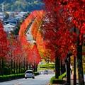 写真: モミジバフウの並木道♪