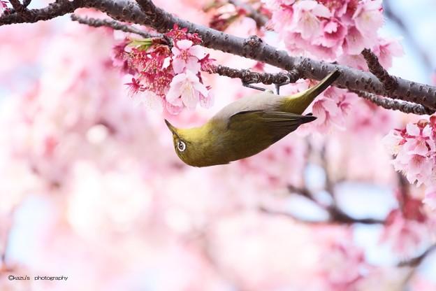 寒桜とメジロ♪