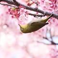 Photos: 寒桜とメジロ♪