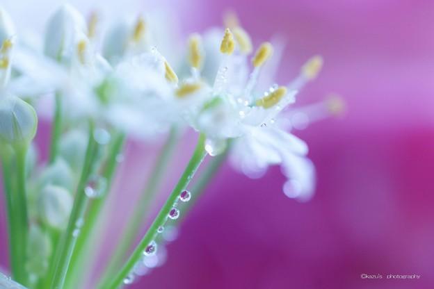 ニラの花♪