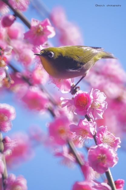 春メジロ♪