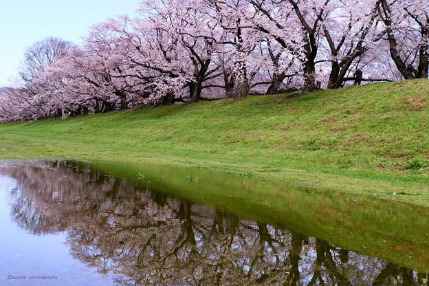 桜の回廊~京都・背割堤♪