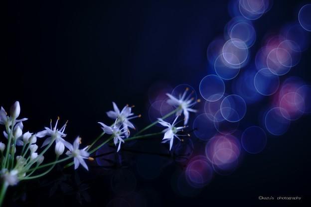 Photos: ニラの花咲く頃♪