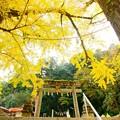 岩部八幡神社の黄葉♪