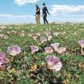 ハマヒルガオ、輝く生命力 被災した閖上の海岸に淡いピンクの花