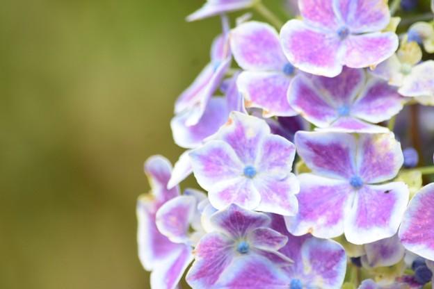紫陽花 ?