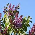 写真: 紫の咲きはじめ