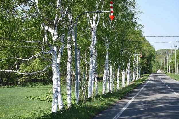 写真: 白樺の並木道