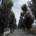 写真: ポプラ並木