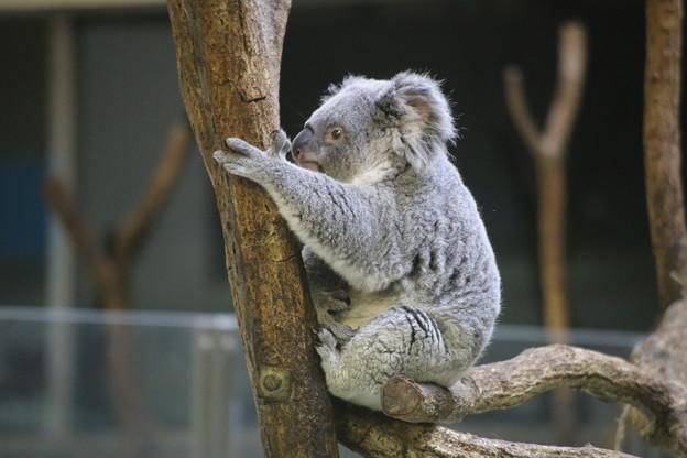 コアラ,オーストラリア転勤中止ホットするの巻