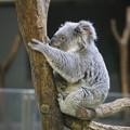 Photos: コアラ,オーストラリア転勤中止ホットするの巻