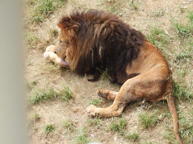 DSCN0696       ライオン父ちゃん