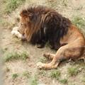 Photos: DSCN0696       ライオン父ちゃん
