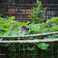 Photos: IMG_8103   ワオキツネザルの奇妙な冒険ー2