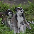 Photos: IMG_8163   ワオキツネザルの奇妙な冒険ー4