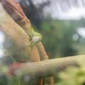 Photos: IMG_0343  ガイアナカイマントカゲ  リベンジ版