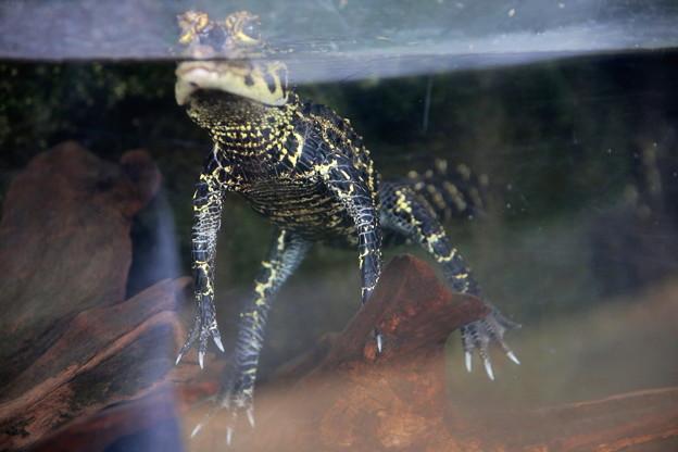 IMG-0330 水棲恐竜発見か?いえ、ニシアフリカコガタワニ(子供)です。