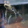 Photos: IMG-0330 水棲恐竜発見か?いえ、ニシアフリカコガタワニ(子供)です。