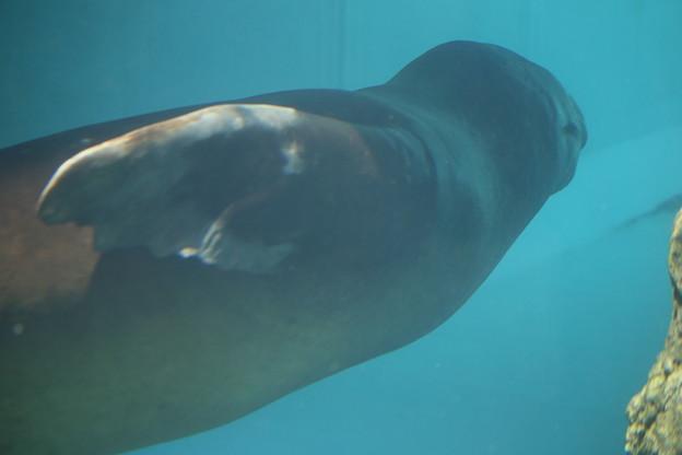 IMG_3621 アシカの潜水を見る-1