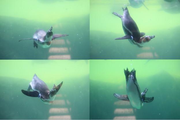 Photos: IMG_4259 ペンギン水中バレエ