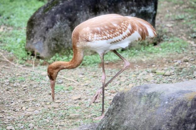 IMG_4983 ソデグロヅル(幼鳥)