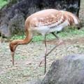 Photos: IMG_4983 ソデグロヅル(幼鳥)