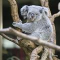 Photos: IMG_4799 久々のコアラ、ニーナ(♀)です