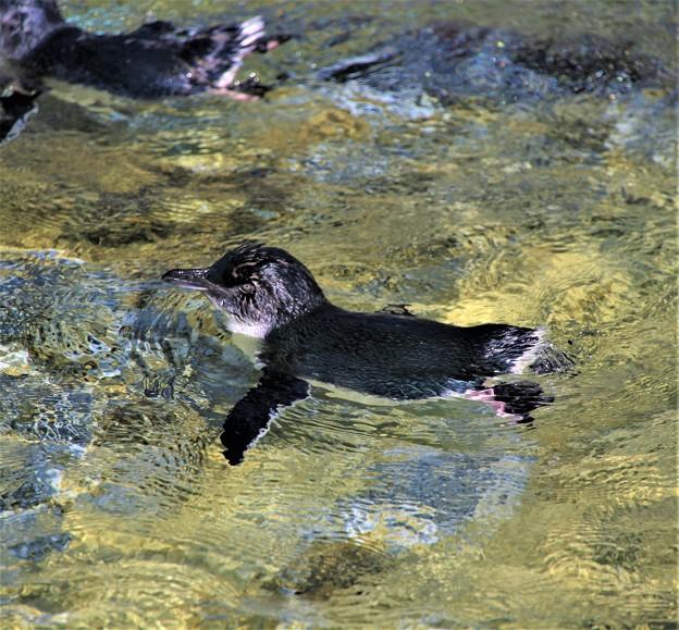 IMG_7335  フェアリーペンギン