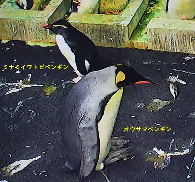 IMG_7064 ミナミイワトビペンギン・オウサマペンギン