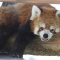 Photos: IMG_9110 ハマのレッサーパンダ