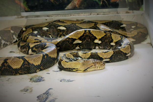 IMG_8807 アミメニシキヘビ