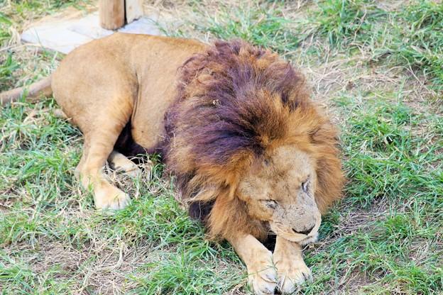 IMG_0209  相変わらずライオンは寝ている(雄)