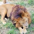 Photos: IMG_0209  相変わらずライオンは寝ている(雄)