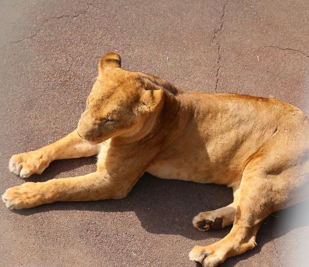 IMG_0208  相変わらずライオンは寝ている(雌)