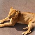 Photos: IMG_0208  相変わらずライオンは寝ている(雌)
