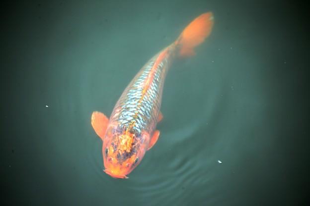 IMG_0660 お堀の鯉